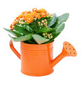Kalanchoe flower Stock Photography