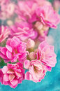 Kalanchoe flowers abstract floral background with soft focus and old paper texture Royalty Free Stock Photo