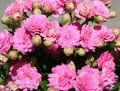 Kalanchoe a very beautiful pink Royalty Free Stock Photo