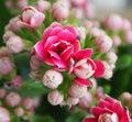 Kalanchoe a very beautiful pink Royalty Free Stock Image