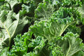 Kale Royalty Free Stock Photo