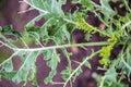 Kale eaten away by catepillar Royalty Free Stock Photo