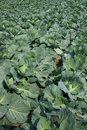 Kale field Stock Images