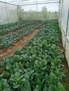 Kale garden, Young kale growing in the field, Agriculture of the Thailand, Farme
