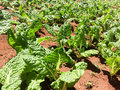 Kale growing on a farm Royalty Free Stock Photo