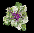 Kale ornamental or borecole brassica oleracea acephala group is a vegetable with green or purple leaves in which the central Stock Photos