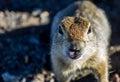 Kamchatka animal fauna portait Stock Photography