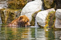 Kamchatka bear playing in water pool Royalty Free Stock Photos