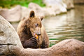 Kamchatka bear playing in water pool Stock Photography