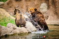 Kamchatka bear playing in water pool Stock Photo