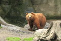 Kamchatka brown bear the gazing juveile of Royalty Free Stock Photography