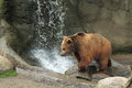 Kamchatka brown bear the running young Stock Photos