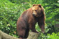 Kamchatka brown bear standing on the wood Stock Image