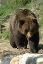 Kamchatka brown bear (Ursus arctos beringianus) Stock Images