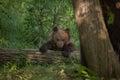 Kamchatka brown bear Ursus arctos beringianus Royalty Free Stock Photo