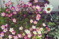 Kamnelomka Arendsa Saxifraga - a gentle and elegant plant for decorating gardens, flower beds, alpine gardens. Delicate pink Royalty Free Stock Photo