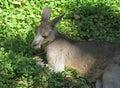 Kangaroo Royalty Free Stock Photos