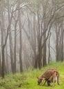 Kangaroo and baby joey feeding