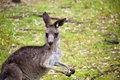 Kangaroo with a biscuit Royalty Free Stock Photo