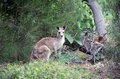 Kangaroo cute standing and eating grass in the australian bush Royalty Free Stock Images