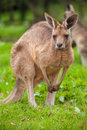 Kangaroo cute in a wildlife park Stock Photo