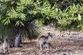 Kangaroo and drinking Joey Royalty Free Stock Photo