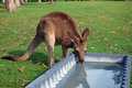 Kangaroo drinking water Royalty Free Stock Photo