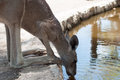 Kangaroo drinks water at the zoo Royalty Free Stock Photo