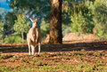 Kangaroo enjoying morning sun Royalty Free Stock Images