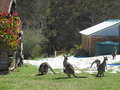 Kangaroo family in snow Royalty Free Stock Image