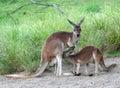 Kangaroo feeding baby joey Stock Photography