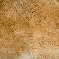 Kangaroo fur texture and background Royalty Free Stock Photo
