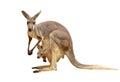 Kangaroo isolated Royalty Free Stock Photo