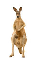 Kangaroo isolated on white background Royalty Free Stock Image