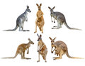 Kangaroo isolated on white background Stock Image