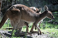 Kangaroo and Joey Stock Photography