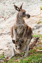 A kangaroo with joey Stock Photo