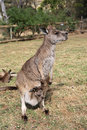 Kangaroo with joey in australia Royalty Free Stock Photography