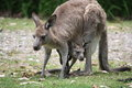 Kangaroo and joey mother her still in her pouch Royalty Free Stock Photography