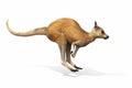 Kangaroo jumping on a white background