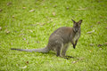 Kangaroo in khao kheaw open zoo thailand Stock Image