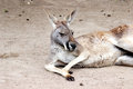 Kangaroo laying on a ground Stock Photos
