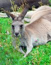 Kangaroo lays on green grass close up portrait of the animal Stock Image