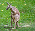 Kangaroo living from thailand s zoo Stock Photography
