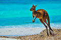 Picture : Kangaroo at Lucky Bay reflections hofn