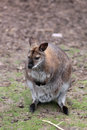 Kangaroo macropus rufogriseus red necked wallaby close up Stock Photography