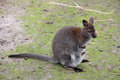 Kangaroo macropus rufogriseus red necked wallaby close up Royalty Free Stock Photo