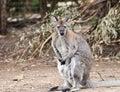 Kangaroo In Melbourne