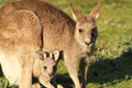 Kangaroo mother and Cub