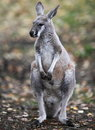 Kangaroo in nature Stock Photo